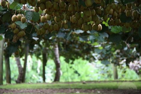 eDevo kiwifruit-orchard-papamoa